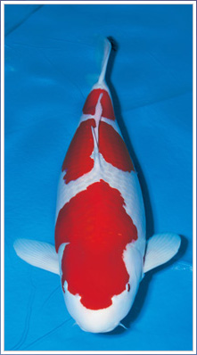 41st all japan show zen nippon airinkai for Champion koi fish